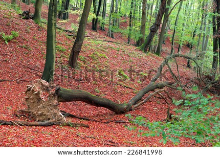 Image of a fallen uprooted tree in a vibrant colourful forest as autumn approaches - stock photo