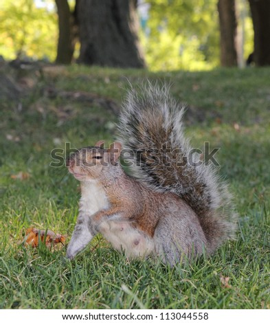 image of a grey squirrel on the grass