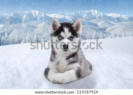Image of a little siberian husky dog lying down on the snow and looking at the camera