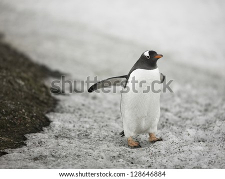 Image of a penguin in Antarctic region. - stock photo