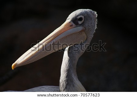 Image of a Pink-backed Pelican - Pelecanus rufescens
