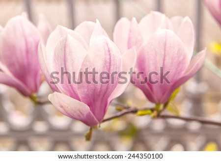Image of a pink magnolia tree - stock photo