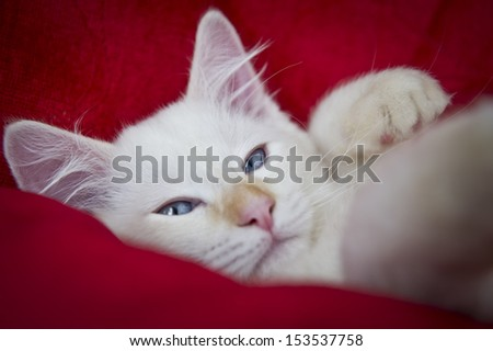 Image of a sleepy ragdoll cat on a red background - stock photo