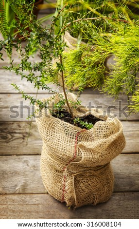 Image of a small tree in a pot wrapped in burlap.  - stock photo