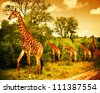 Image of a South African giraffes, big family graze in the wild forest, wildlife animals safari, Kruger National Park, bushes of Sabi Sand game drive reserve, beautiful nature of Africa continent - stock photo