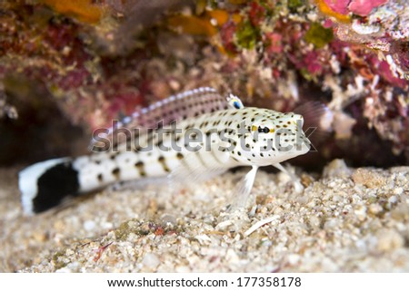 Image of a tropical sandperch resting on the bottom. Focus is on the eye. - stock photo
