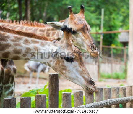 image of a twogiraffes on the neture background , animal wildlife
