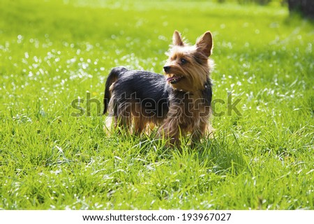 Image of a yorkshire dog