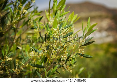 Image of an olive tree in an olive grove.  - stock photo