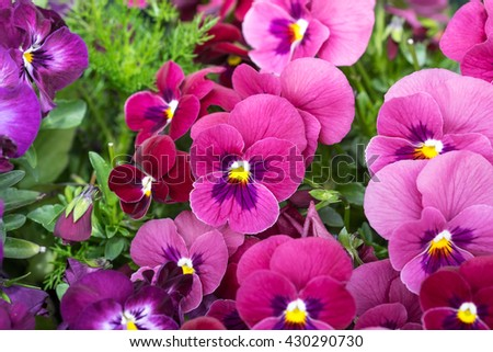 Image of beautiful bright violet flower with yellow pollen and green leafs for gardening background - stock photo