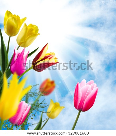 image of beautiful flowers of tulips in the garden closeup