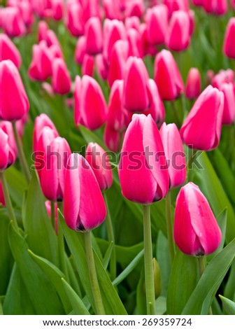image of beautiful flowers tulips in the garden closeup - stock photo