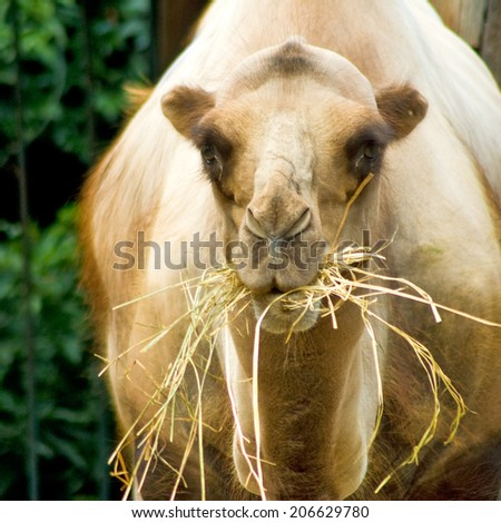 image of camel on  trees background - stock photo