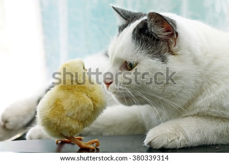 Image of cat sniffing cautiously little chicken, close-up