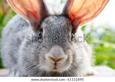 Image of cautious grey bunny muzzle looking at camera - stock photo