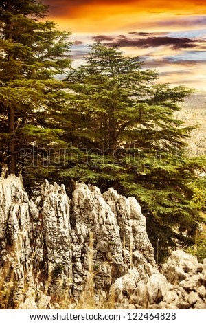 Image of cedars forest of Lebanon, coniferous woods on the rocks, dramatic red sunset, big green pine trees in the mountains, beautiful landscape, wild nature, huge fir tree over sunrise - stock photo