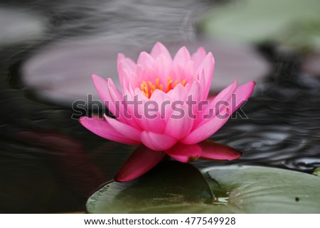 Image of closeup blooming pink waterlily