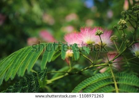 Image cute fluffy blooming pink flower stock photo royalty free image of cute fluffy blooming pink flower albizia julibrissin persian silk tree pink mightylinksfo