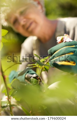 Image of elderly woman cutting dried rose flower from the plant in garden. Selective focus on old woman hands cutting flowers. - stock photo
