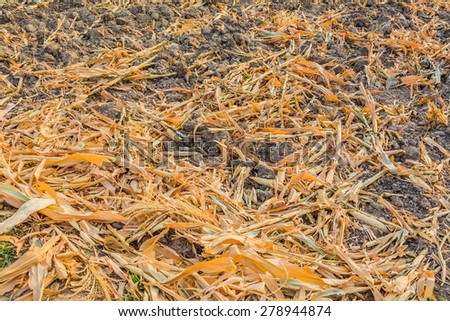image of End of the summer, dried corn after harvesting. - stock photo
