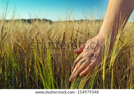Image of female hand in the wheat field/Hand and wheat crop - stock photo