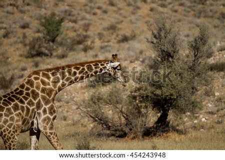image of giraffe - stock photo