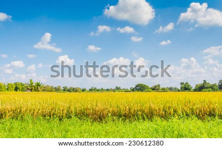 image of golden rice field with blue sky - stock photo