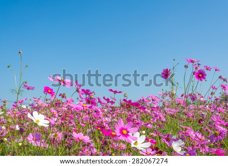 image of Group of Purple cosmos flower in the field with blue sky background. - stock photo