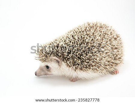 image of Hedgehog isolate on white background. - stock photo