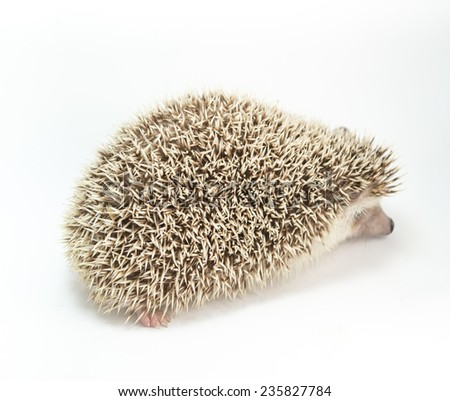 image of Hedgehog isolate on white background. - stock photo