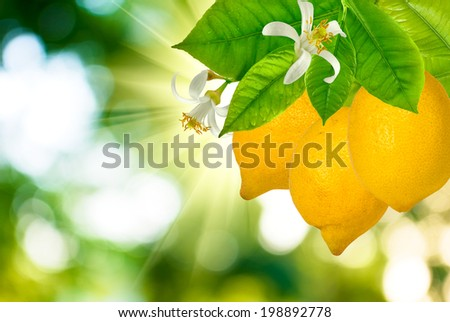 image of lemons on the tree in the garden - stock photo