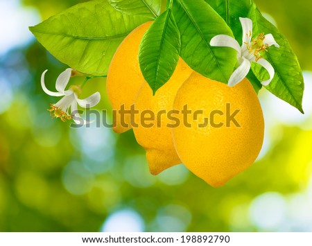 image of lemons on the tree in the garden closeup - stock photo