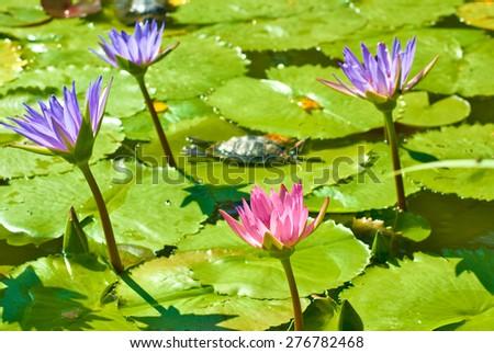 image of many beautiful lotus flowers on water - stock photo