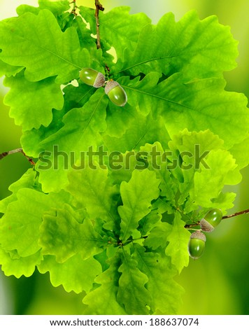 image of oak leaves in the garden - stock photo