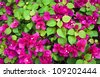 image of pink Bougainvillea - stock photo