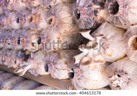 Image of Pleurotus sajor-caju mushroom grow up in farm.Shiitake Mushroom, Lentinus edodes (Berk.) , Black Mushroom, Phoenix Oyster Mushroom , Sajor-caju Mushroom , Pleurotus sajor-caju ( Fr. ) Sing. - stock photo