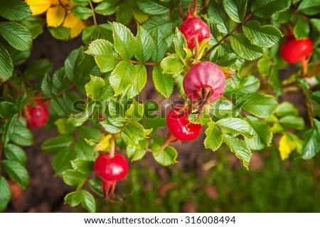 Image of ripe rose hip bush.  - stock photo
