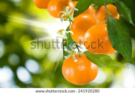 image of ripe sweet tangerine closeup - stock photo