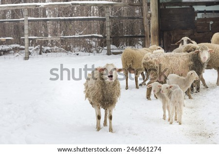 Image of sheep herd on farm on snow - stock photo