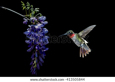 Image of small hummingbird hovering and feeding from Acacia Flower over black background