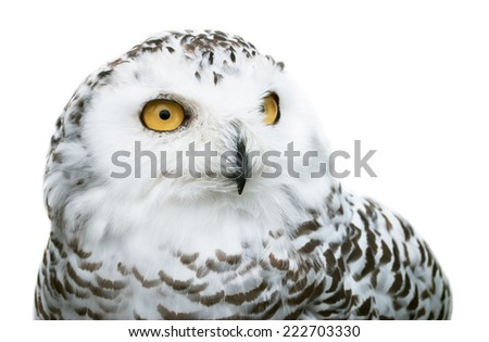 image of snowy owl isolated on white background - stock photo