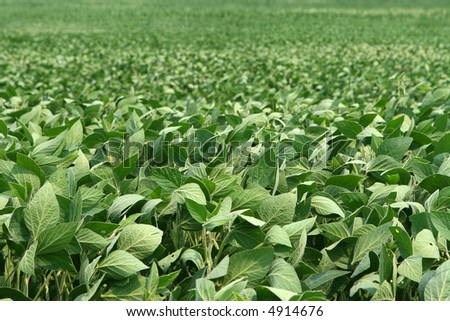 image of soybeans as far as can be seen - stock photo