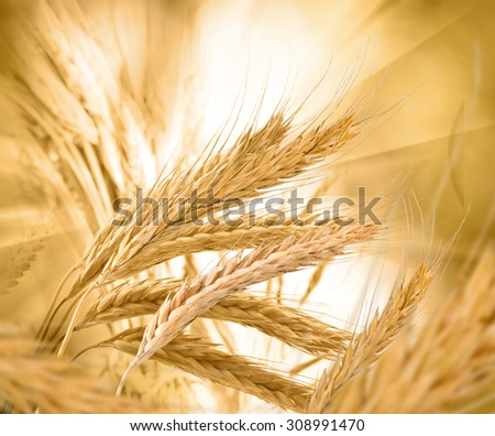 image of spikelets of wheat