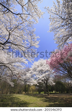 Image Of The Cherry Blossoms