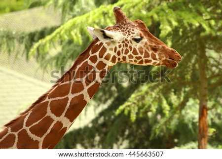 Image of the neck and head of a giraffe in Debrecen zoo, Hungary.