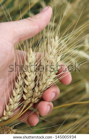 image of the spikelets of the wheat in the hand