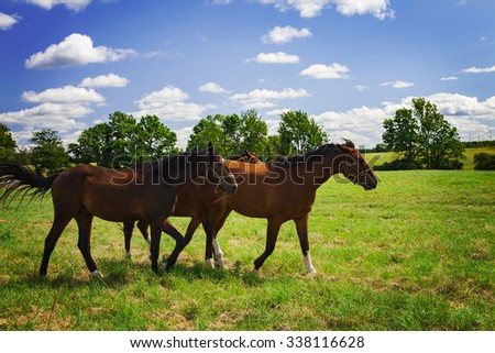 Image of three young stallions walking in the field.  - stock photo
