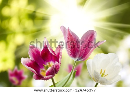 image of tulips against the sun close-up