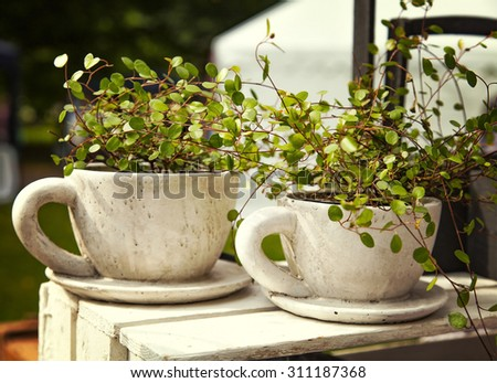 Image of Wire Vine (muehlenbeckia axillaris), planted in giant tea cups - stock photo