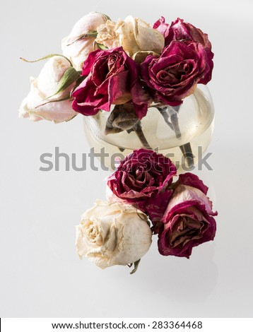Image of withered red white roses on isolated background.